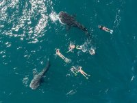 Unforgettable experience when swimming with the whale sharks