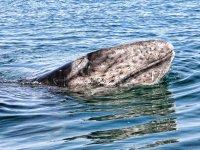 bebe de ballena