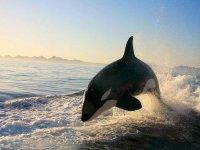 Orcas in Loreto