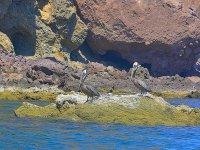 Pelícanos en Isla Danzante