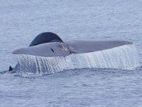 Encontrando ballenas azules