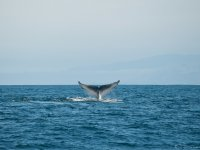 Avistamiento de ballenas azules
