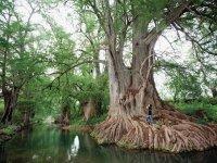Millenary tree