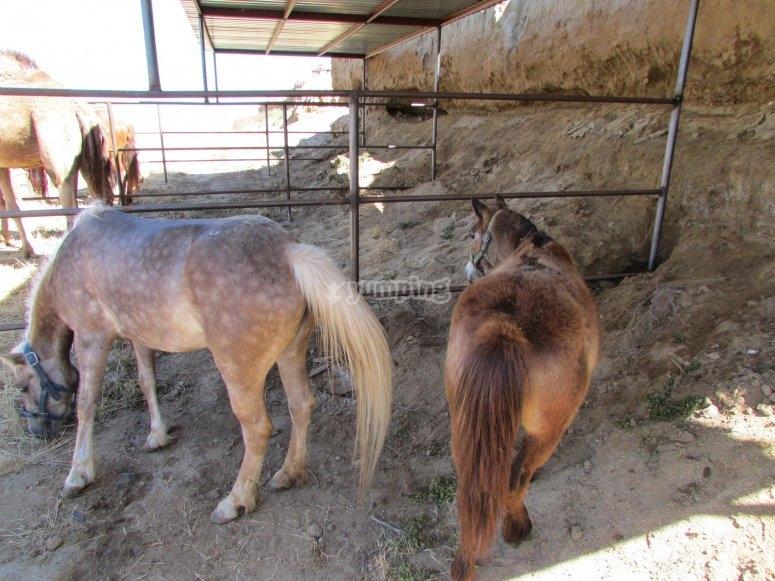 Ponys en la caballeriza