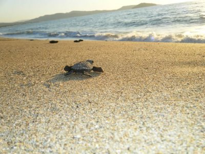 Sea turtles liberation for kids in Tepic