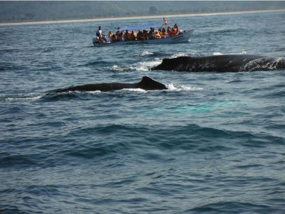 Whale watching in Rincon de Guayabitos