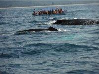 Whale watching in Rincon de Guayabitos