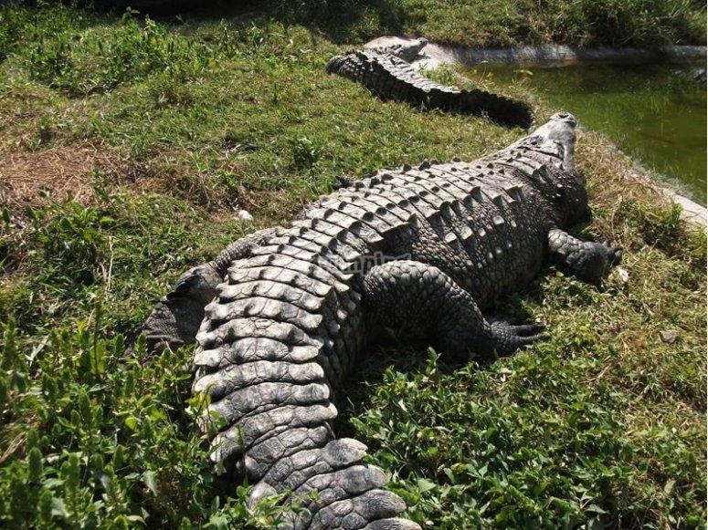 Visit the crocodile pit