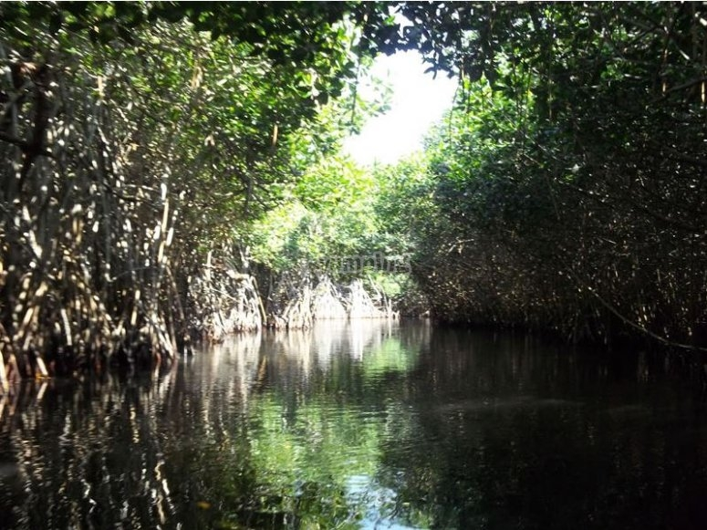 Getting into the mangrove