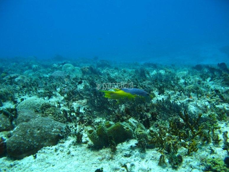 Pez en Arrecife Maya