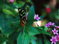 Autochthonous butterfly