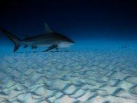 Conoce al tiburon toro