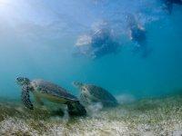 observando tortugas snorkeleando