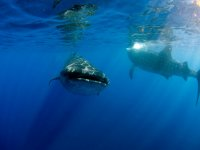 Tiburon ballena en grupo