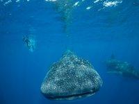 Conociendo al tiburon ballena