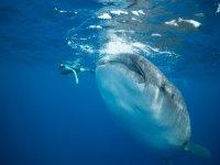Conoce el pez mas grande del mundo