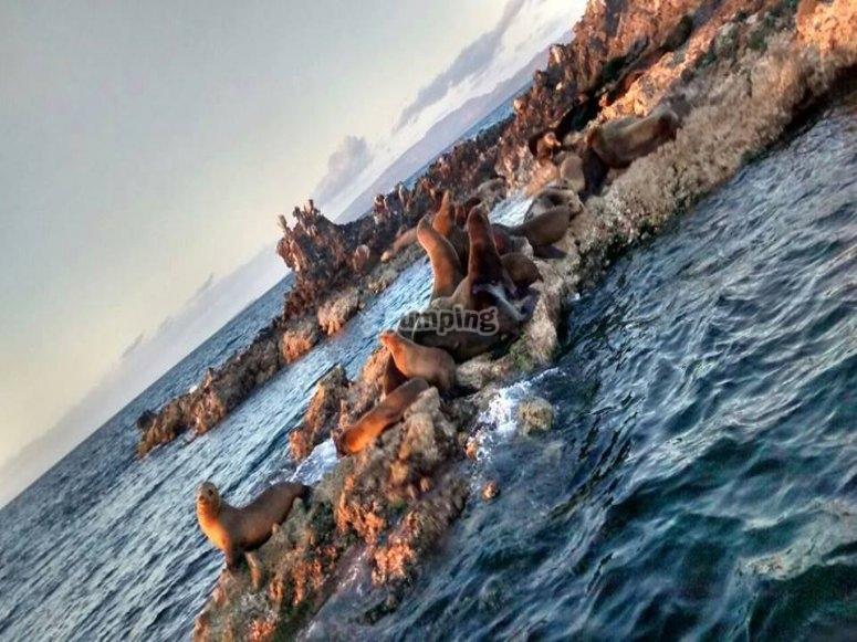 Nada con los lobos marinos