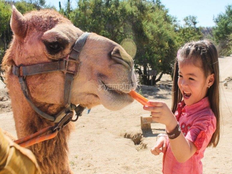 Los niños felices de alimentar a los camellos