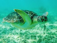 Tortuga marina en Coba