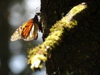 mariposa monarcas