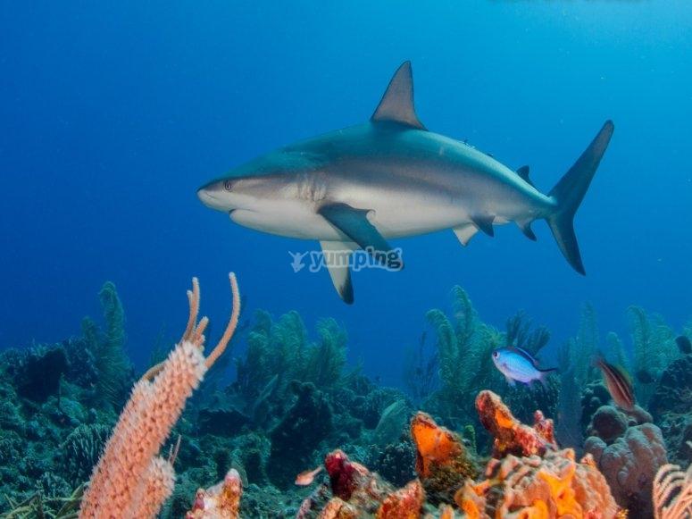 Observando al tiburon toro
