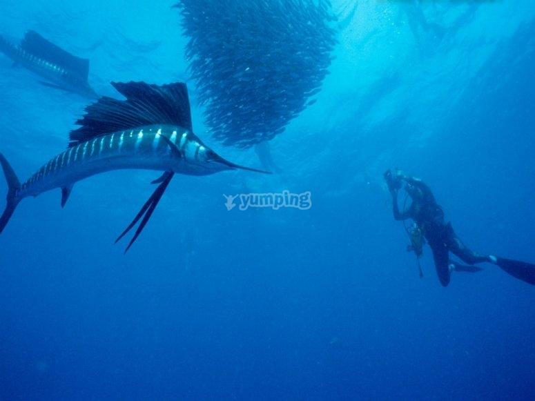 vela fish
