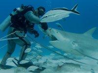 Alimentando al tiburon toro
