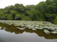 Mangroves in colima