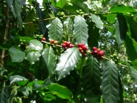 Learn about the processes of coffee