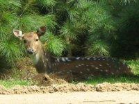 A deer Axis