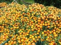 Grow organic orange