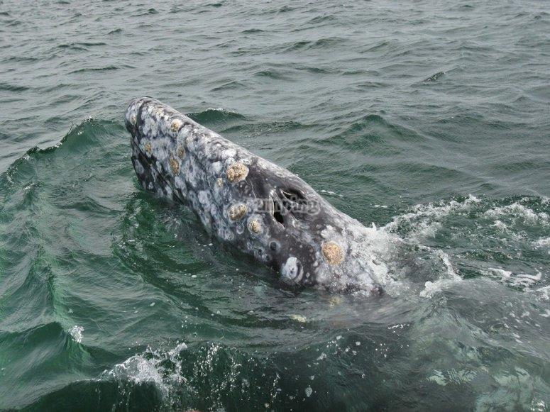 Conociendo a la ballena gris