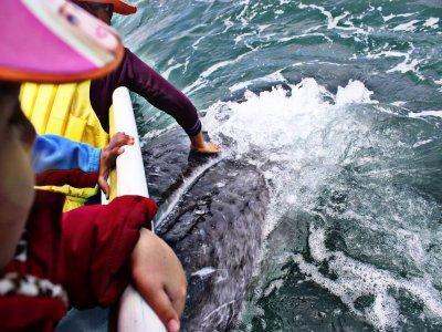 Avistamiento de la ballena gris en La Paz