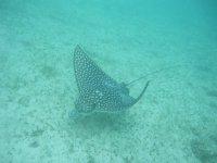 Manta rays in Playa del Carmen