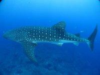 Nada con el tiburonballena