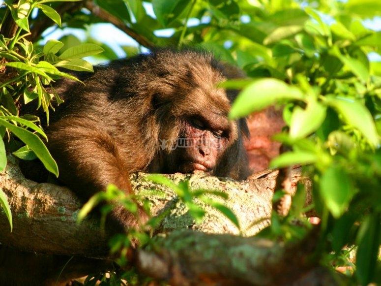 mono macaco