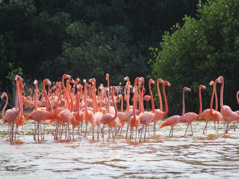 Los flamencos en el lago