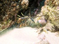 Lobster in snorkeling