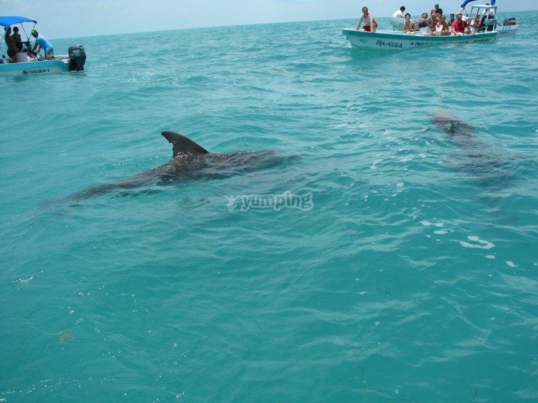 Admira los delfines