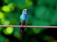 Varias especies de colibries