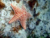 Starfish on the reef
