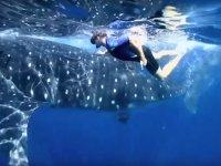 Nado con tiburón ballena + transporte incluido