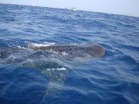 Experiencia con tiburón ballena