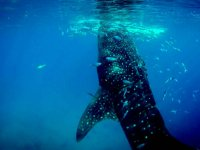 Swim with whale shark, a unique experience