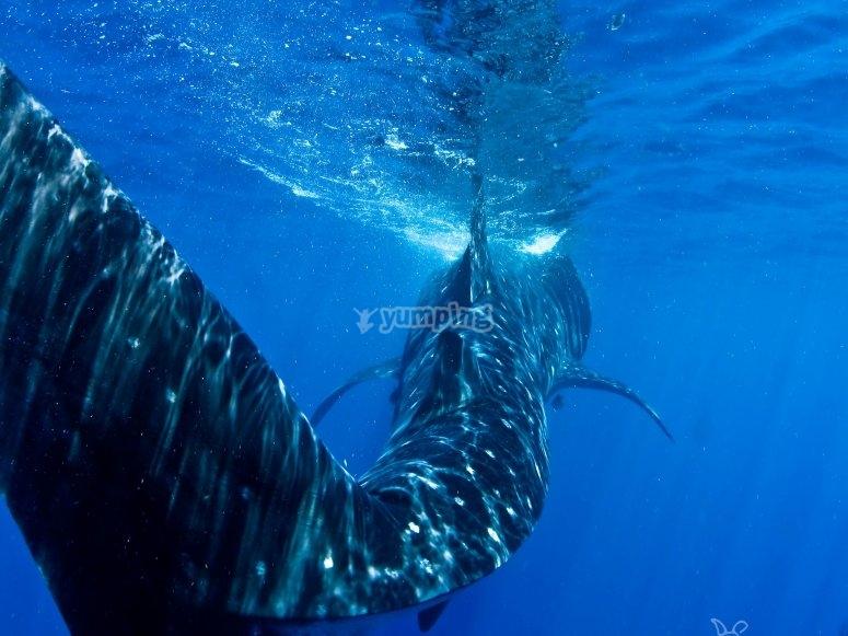 Ve nadar al tiburon ballena