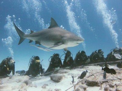 Buceo discovery con tiburón toro