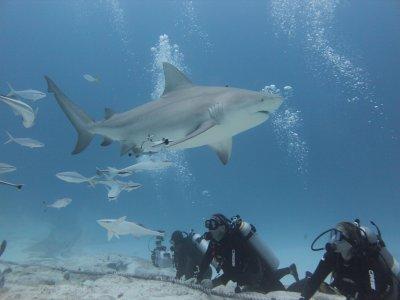 Buceo encuentro con tiburón toro 1 tanque