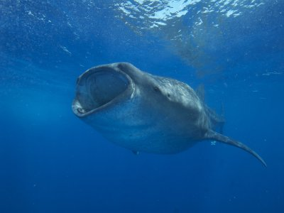 Swim with whale shark in Punta Sam for 6h