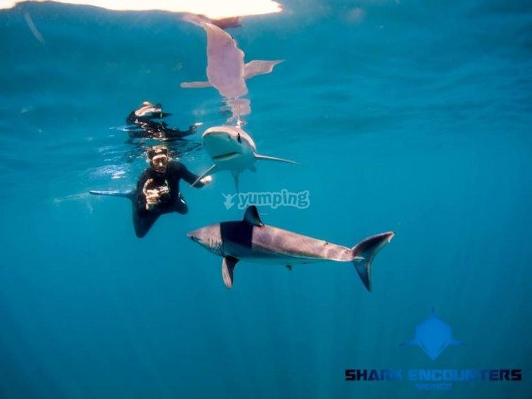 Nadando con tiburones Silky
