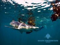 Shark Encounters Open Ocean Safari
